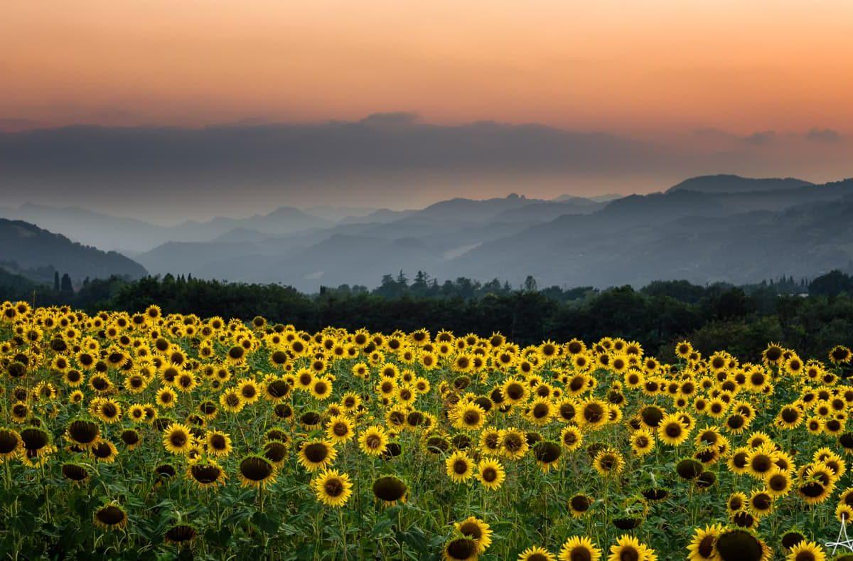 Brisighella-colline-girasoli-tramonto-Masterfile-min